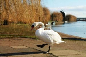 Elena - Embankment & Swan