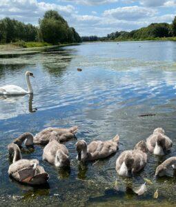 Nicole Killick: Swan family at Orton Mere Rowing Lake