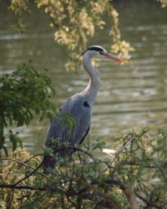 Shannon Leigh Wells - Heron at Ferry Meadows