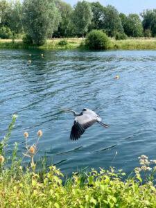 Shelley Cash - Rowing Lake Heron Flying
