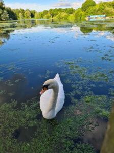 Tina Irvine - Ferry Meadows Swans