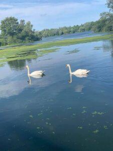 Jolene Hallett - Swans at Ferry Meadows